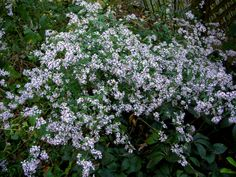 Blue wood aster, Aster cordifolius:  leaves completely cover the ground in the spring; plants are covered with flowers in October and November