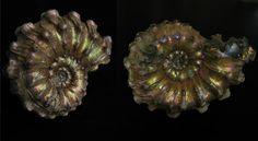 アンモナイト AMMONITE Kosmoceras (Spinicosmoceras) コスモセラス ロシア産