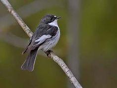 Svartvit flugsnappare, Ficedula hypoleuca - Fåglar - NatureGate