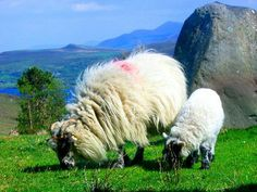 Mountain farm cottages near Ring of Kerry with stunning views, flocks of sheep, Caragh Lake, Ireland