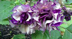 two Purple Petticoats Datura Metel