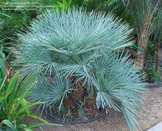 PlantFiles: Picture #15 of Blue Mediterranean Fan Palm (Chamaerops ...