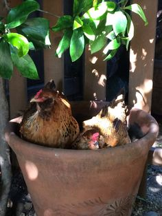 Chickens in a pot