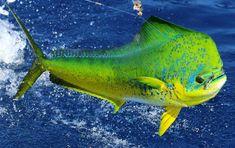 Lemon-Garlic Mahi-Mahi with Pan Seared Asparagus – mahimahi Mahi Fish, Mahi Mahi, Salt Water Fish, Salt And Water, Sport Fishing, Fly Fishing, Fishing Lures, Marlin Fishing, Tuna Fishing