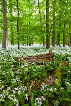 ***Wild garlic carpets the forest floor (Germany) by Florian Kraus on Forest Path, Forest Garden, Forest Floor, Woodland Garden, Wild Forest, Woodland Flowers, Mystical Forest, Forest Background, Wild Garlic