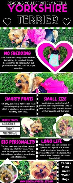 Reasons to Get a Yorkie. Yorkie Infgraphic. Yorkshire Terrier. Best Dog. Pink Dress. Lily