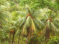Jamaican Trees
