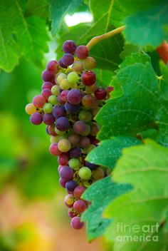 Red Grapes, fruit of the vine, red red wine.