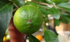 Oranges aren't necessarily orange.Oranges in warmer tropical climates never get cold enough to break down the chlorophyll in the fruit's skin, which means they'll be yellow or green when they're ripe. Americans can't deal with this, so imported oranges get treated with ripening ethylene gas to turn them orange. |   Shocking Food Facts That Will Make You Question Everything