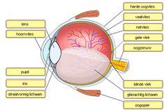 Waarnemen oog Nursing Apps, Nursing Memes, Biology Teacher, Medical Assistant, Too Cool For School, Nurse Life, Science For Kids, Human Body, Spelling