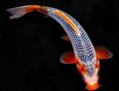 Blue Koi | Live Blue Koi Fish Gallery for live blue koi fish