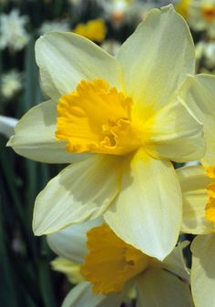 "SIR WATKIN, 1868 - True stock! After decades of confusion, here at last is the true 'Sir Watkin'. One of the most celebrated daffodils of all time, ""The Welsh Peerless"" has soft yellow petals that arch forward gracefully around a fluted, golden cup. Almost 70 years after it first rocked the garden world, expert John Wister wrote that it ""holds its place well among the best of fine daffodils, and proves once more that we cannot wholly cast aside old favorites."" 16-18"", zones 5a-8b"