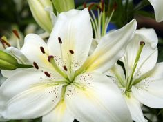 White Lily Oil - Recipe and Therapeutic Uses - http://topnaturalremedies.net/home-remedies/white-lily-oil-recipe-and-therapeutic-uses/