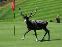 Idrefjällens Golfklubb (Sweden): want to see a reindeer walk by at close range? It's possible in Sweden during a round of golf!
