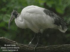 Malagasy Sacred Ibis or Madagascar White Ibis