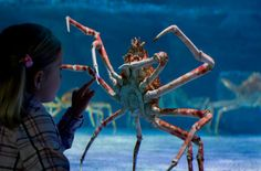 Japanese Spider Crab  Average around 12 feet and 42 pounds the Japanese Spider Crab has the great leg span of all crabs.  The population of these crabs has been diminishing over the years and and there are many efforts to try and protect them.