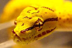 Yellow Python by baldheretic, via Flickr