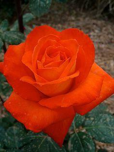 Rose 'France Libre' Beautiful Rose Flowers, Beautiful Flowers Wallpapers, Flowers Nature, Amazing Flowers, Rose Images, Flower Images, Gothic Garden, Color Naranja, Single Rose