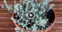 Целебные свойства этой травы трудно переоценить! Стоит обратить на неё особое внимание! Тимьян обладает антисептическими, антиспазматическими, антибиотическими, противовирусными, фунгицидными, бактерицидными и отхаркивающими свойствами, которые делают его способным убивать микробы, повышать иммунитет, помогать организму вымывать токсины, повышать устойчивость к чужеродным организмам и способствовать образованию белых клетки крови. Его название происходит от греческого слова «thymos», что…