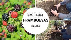 Como plantar frambuesas en casa