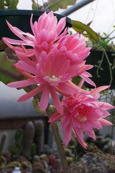 Oregon Cactus Blog:  Epiphyllum Epicactus 'Padre'