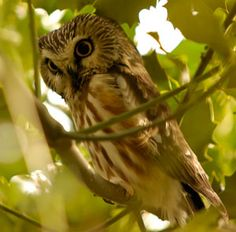 Northern Saw Whet Owl – There are no ear tufts, and they have very large, yellow eyes.