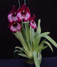 Miltoniopsis Echo Bay 'Midnight Tears'