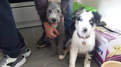 Meena & Leia....... Bedlington & Aussie/Border collie......❤️
