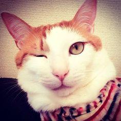 #愛猫 #可愛い #ウインク #ネコ #ねこ #猫 #ペット #pet #cat #cute #wink