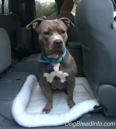 Princess Leia the blue-nose Pit Bull Terrier sitting on a dog bed in the back seat area of a Toyota pick-up truck