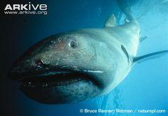 Megamouth-shark.jpg (650×451)