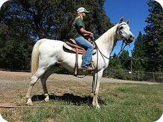 Smokey is an adoptable Arabian Horse in Oroville, CA. Smokey is a 22 year old gelding with the spirit and body of a 12 year old, He is well trained and would make a great horse for a advanced beginner...