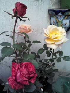 Rosas de Mayo.
