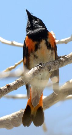 American Redstart - Weld County, CO - May 2013   by SteveMlodinow