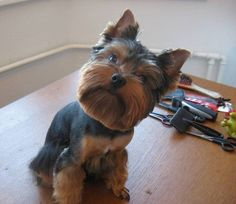 Yorkie haircuts for males and females + pictures) - Yorkie. Yorkshire Terrier Haircut, Yorkshire Terrier Puppies, Terrier Dogs, Yorkies, Yorkie Cuts, Yorkie Hairstyles, Puppy Haircut, Puppy Cut, Hot Hair Styles