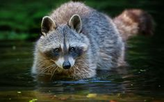 Best raccoon wallpaper, desktop background for any computer, laptop, tablet and phone Wallpapers En Hd, Hd Backgrounds, Cute Raccoon, Racoon, Destop Wallpaper, Hd Images, Bing Images, Hd 1080p, Cute Guys