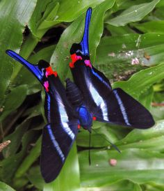 Sword-tailed Beautymark (Rhetus arcius)