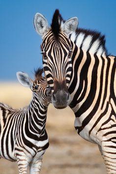 beautiful-wildlife:Maternal bondbyMogens Trolle