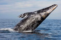 Gray Whales Swim Onto The Big Screen And Into The Hearts of Nature ...