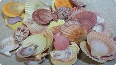 """Pecten Nobilis Shells 1-1/2"""" to 3-1/4"""" - quart $3.75"""