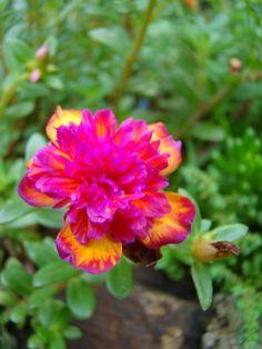 3 Mudas De Onze Horas Dobrada Neon, Portulaca Grandiflora - R$ 25 ...