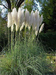 Rare Pampas Garss,Pampas Seed,Pampas Grass Plant,Ornamental Plant Flowers Cortaderia Selloana Grass Seeds for home garden Tall Plants, Outdoor Plants, Moon Garden, Grass Seed, Ornamental Plants, White Gardens, Landscaping Plants, Landscaping Ideas, Modern Landscaping