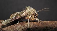 Agaatvlinder  (Van vroegevogels)