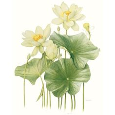 Beverley Allen's Nelumbo lutea lotus is part of the Botanica 2012 - The Masters & Moore exhibition. Art And Illustration, Botanical Illustration, Illustrations, Botanical Flowers, Botanical Prints, Art Floral, Watercolor Flowers, Watercolor Paintings, Lotus Painting