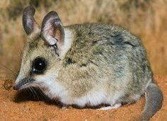 The Fat-tailed Dunnart from Australia uses stored up fat reserves from its tail to survive on when food sources are scarce.  It is actually one of the smallest carnivorous mammals in the world, and while the majority of its diet seems to be arthropods and amphibians, it will also tackle the mice.