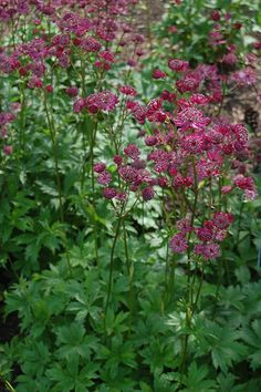 Astrantia major/Masterwort – great plant used a ton in European gardens but seen so rarely here, nice pink & ruby colors in the cultivars...shade plant