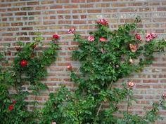 How to Take Care of Climbing Roses