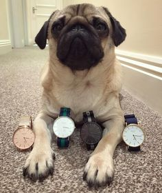 My parents awesome new watch lines will make the perfect Christmas gifts! Go to www.HAYCU.com and use code BATPUG10 to get 10% off FREE worldwide shipping and a custom signed photo of me! You'll definitely make someone's Christmas! @haycu_watches