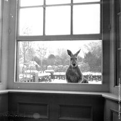 """Pinto, a male kangaroo and father of baby Johnny looks through a window into the house but he is too rough to be allowed inside like his wife and son."" (1954) by Haywood Magee"