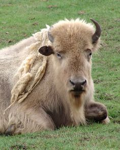 Great White Buffalo  8x10 Giclee Print by PixelGallery on Etsy, $25.00